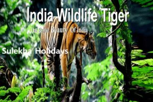 North & Central India Tiger